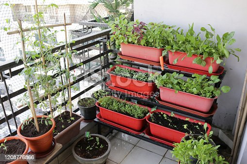 Stock photo showing close-up of lettuce seedlings, Nasturtiums (Tropaeolum), Rocket, Spinach, Tomatoes, Onions and herbs including Basil, Mint and Parsley planted up in a metal tiered stand of plastic plant troughs.