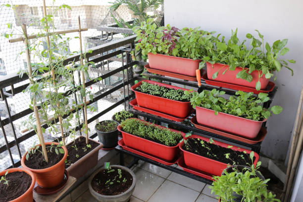 Image of outdoor patio, tiered plastic plant troughs planted up with lettuce seedlings, Nasturtiums (Tropaeolum), Rocket, Spinach, Tomatoes, Onions and herbs including Basil, Mint and Parsley stock photo