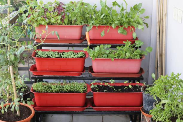 Bild von Außenterrasse, gestuften Plastikpflanzentrögen, die mit Salatsämlingen, Nasturtiums (Tropaeolum), Rucola, Spinat, Tomaten, Zwiebeln und Kräutern wie Basilikum, Minze und Petersilie bepflanzt sind – Foto