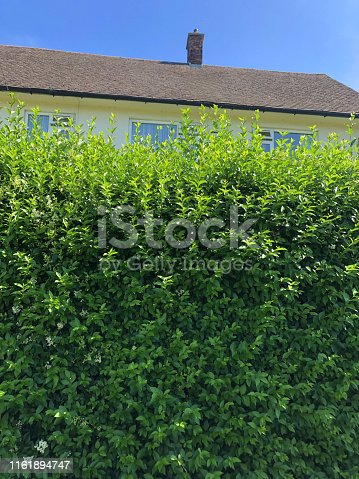 Stock Photo of overgrown tall evergreen common privet hedge shrubs on English council house estate needing to be pruned / pruning privet hedging plants photo in front garden on sunny summer day, latin name ligustrum ovalifolium, gardening fast growing shrub