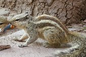 Photo showing a pair of squabbling Indian palm squirrel or three-striped palm squirrel (Funambulus palmarum), pictured at the base of a tree fighting over a biscuit crumb in the Agra Fort gardens, Uttar Pradesh, India.