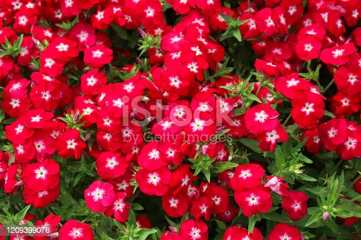 Stock photo showing a close-up of colourful flower border of red phlox plant