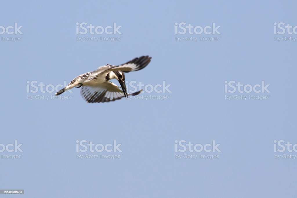 Image of Pied Kingfisher (Ceryle rudis) male hovering in flight on sky. Wild Animals. foto stock royalty-free