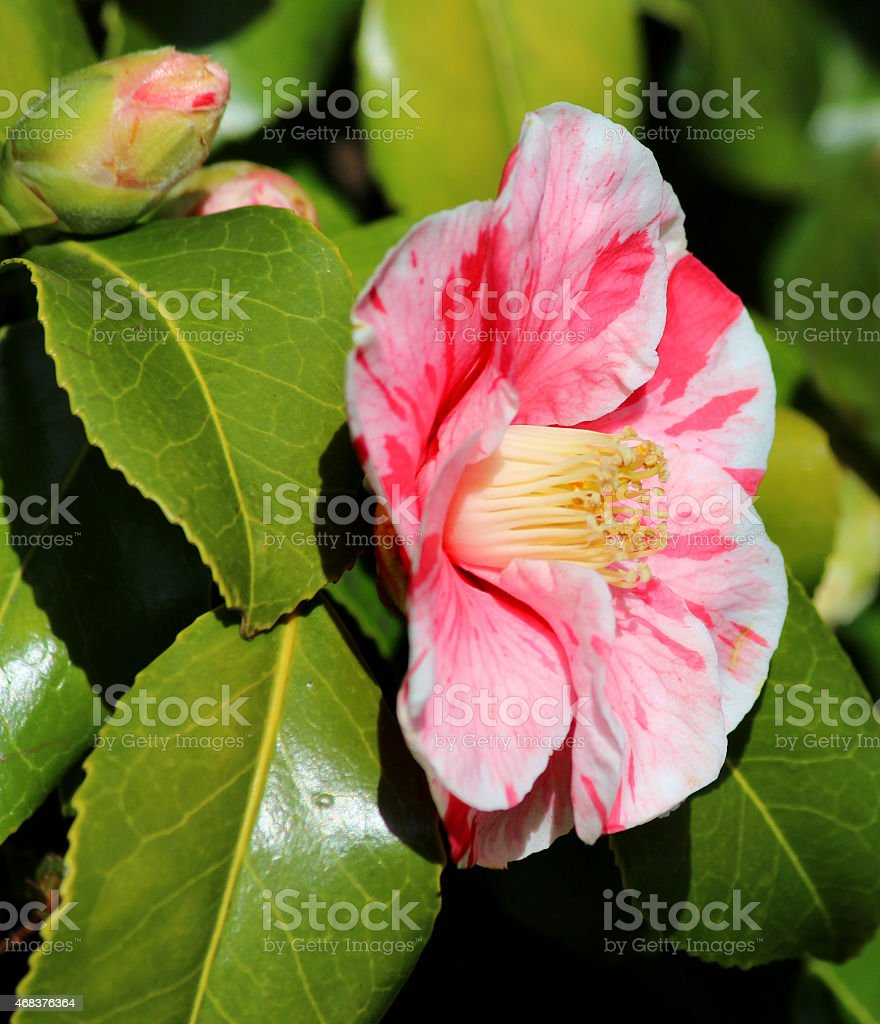 Image Of Pink And White Striped Tricolor Camellia Flower Greenleaves