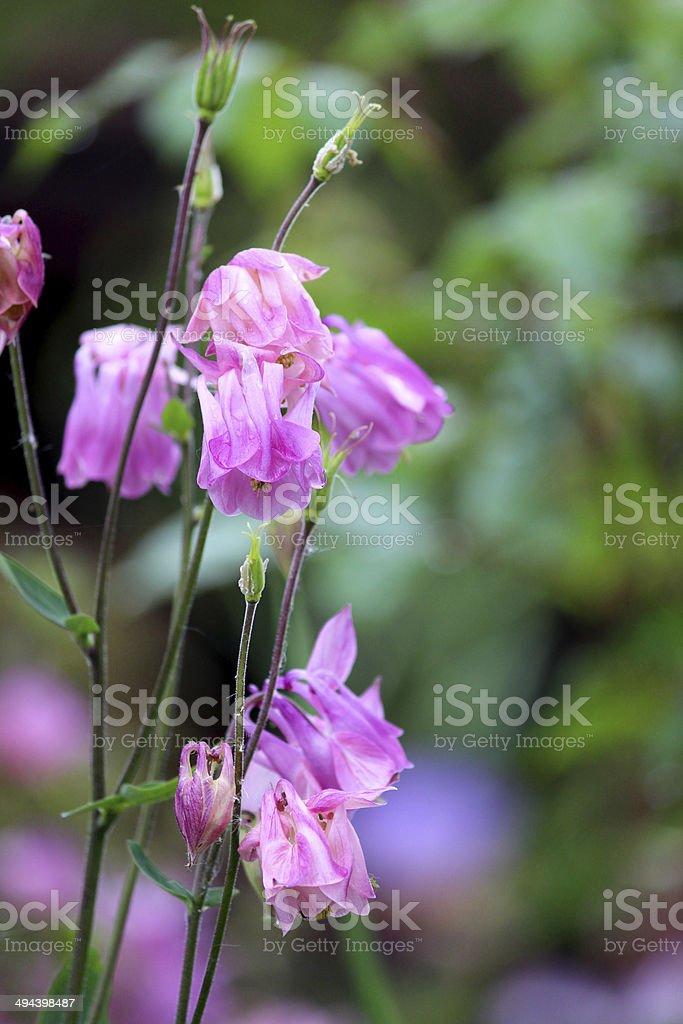 Image of pink aquilegia flowers (Granny's Bonnet / Columbine) in garden royalty-free stock photo