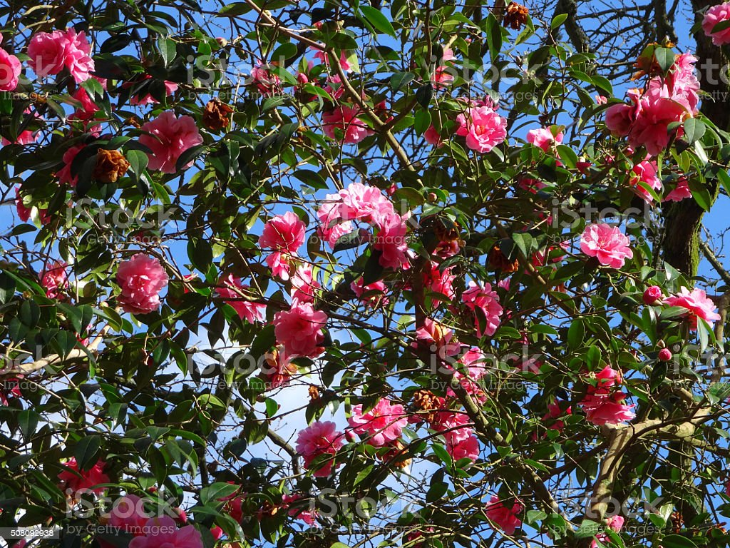 Image Of Pink Camellia Bush With Flowers Against Blue Sky Stock