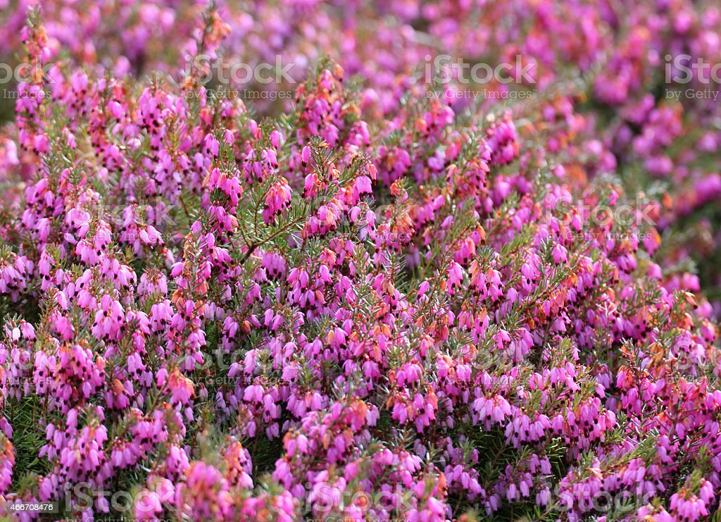 Image Of Pink Flowering Heather Closeup Of Erica Flowers Rockery