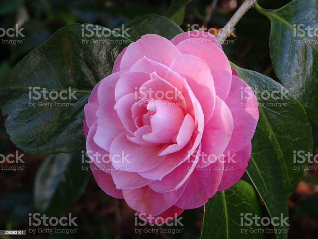 Image Of Pink Petals Of Japanese Camellia Japonica Flower