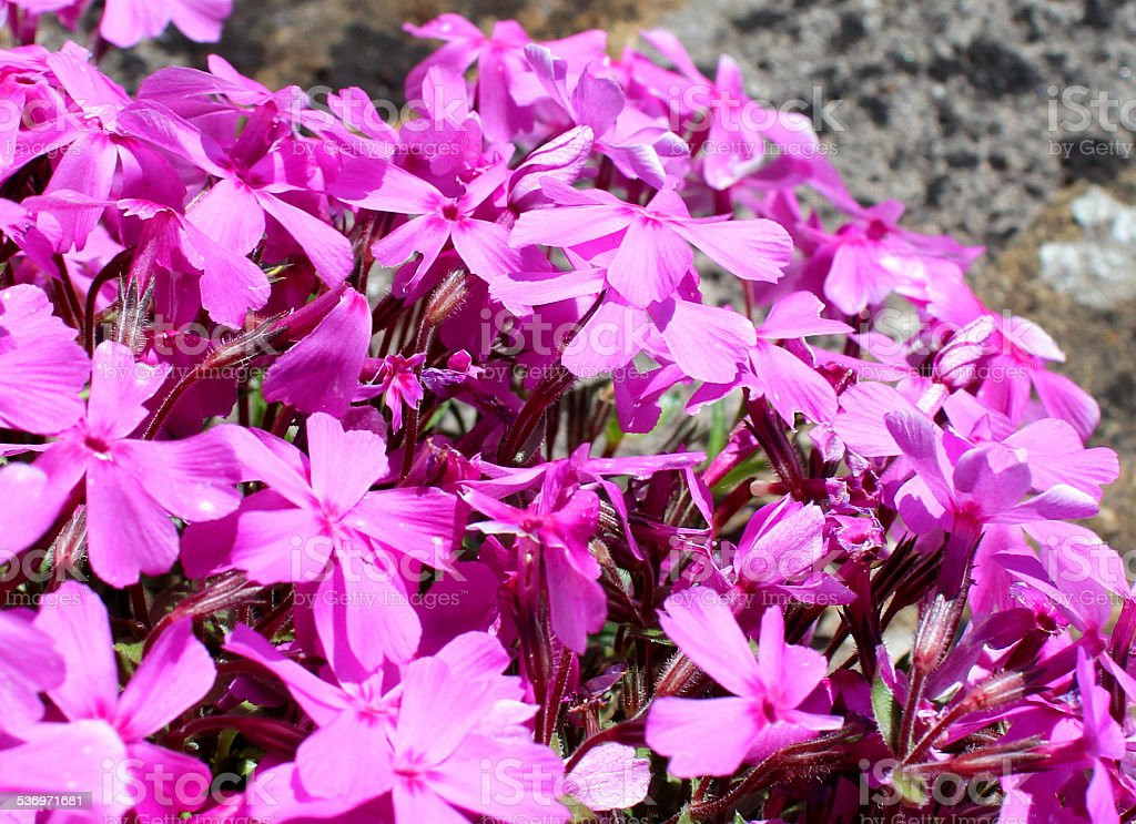 Image of pink phlox flowers, phlox plant growing on wall stock photo