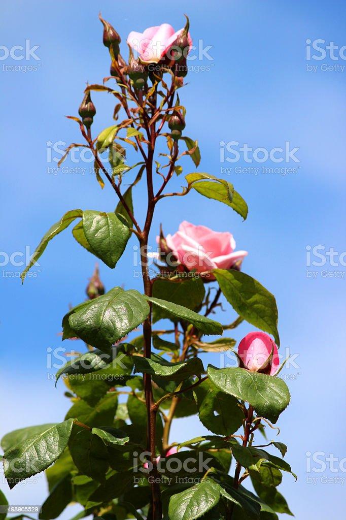 Image De Rose Roses Sur Ciel Bleu Rose Grimpante Simulateur De
