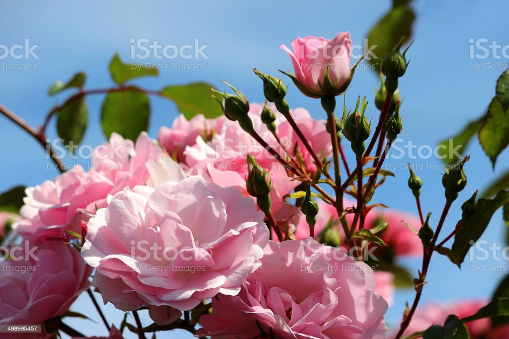 Image of pink roses against blue sky, climbing rose, climber royalty-free stock photo