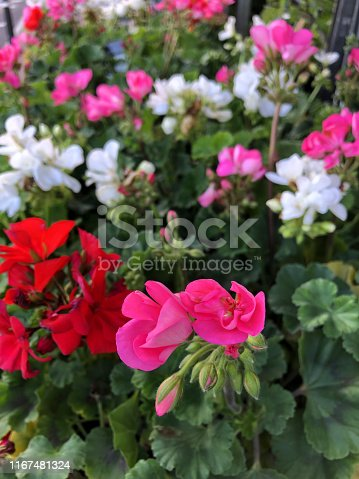 Stock photo of pink, white and red flowering annual geraniums pelargoniums in flower with flowerbuds and petals standing above leaves, annual summer bedding geranium flower photo background growing in garden centre for plant pots, annual bedding hanging baskets