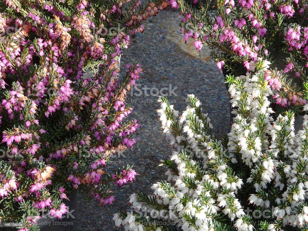 Image Of Pink White Heather Erica Flowers Potplants Garden Centre