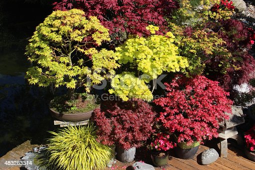 Photo showing some pots containing large and small Japanese maples (varieties of acer palmatum and acer shirasawanum), along with some variegated golden hakone grass (Latin name: hakonechloa macra 'aureola').