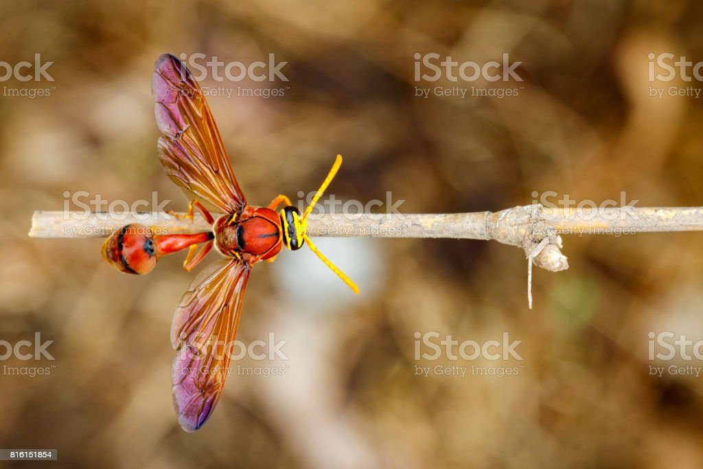 Image of potter wasp on dry branches. Insect Animal