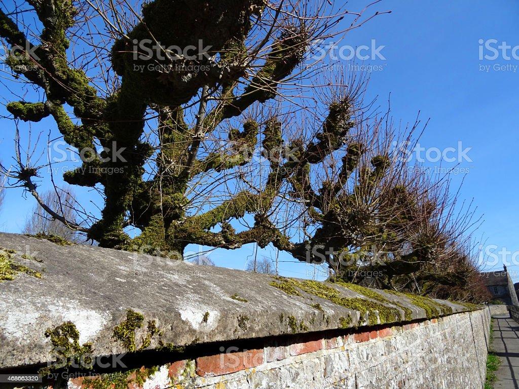 image of pruned pollarded lime trees tilia europaea stone wall royalty