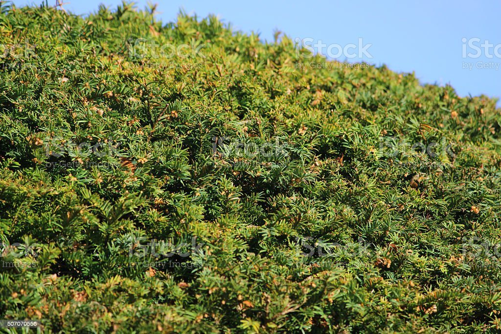 Photo showing the green needles on a neatly clipped common yew tree...