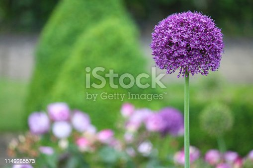 Stock photo of flowering allium / alium in springtime / summer garden single purple flower standing out against blurred background, popular in show gardens at flower shows, copy space text.