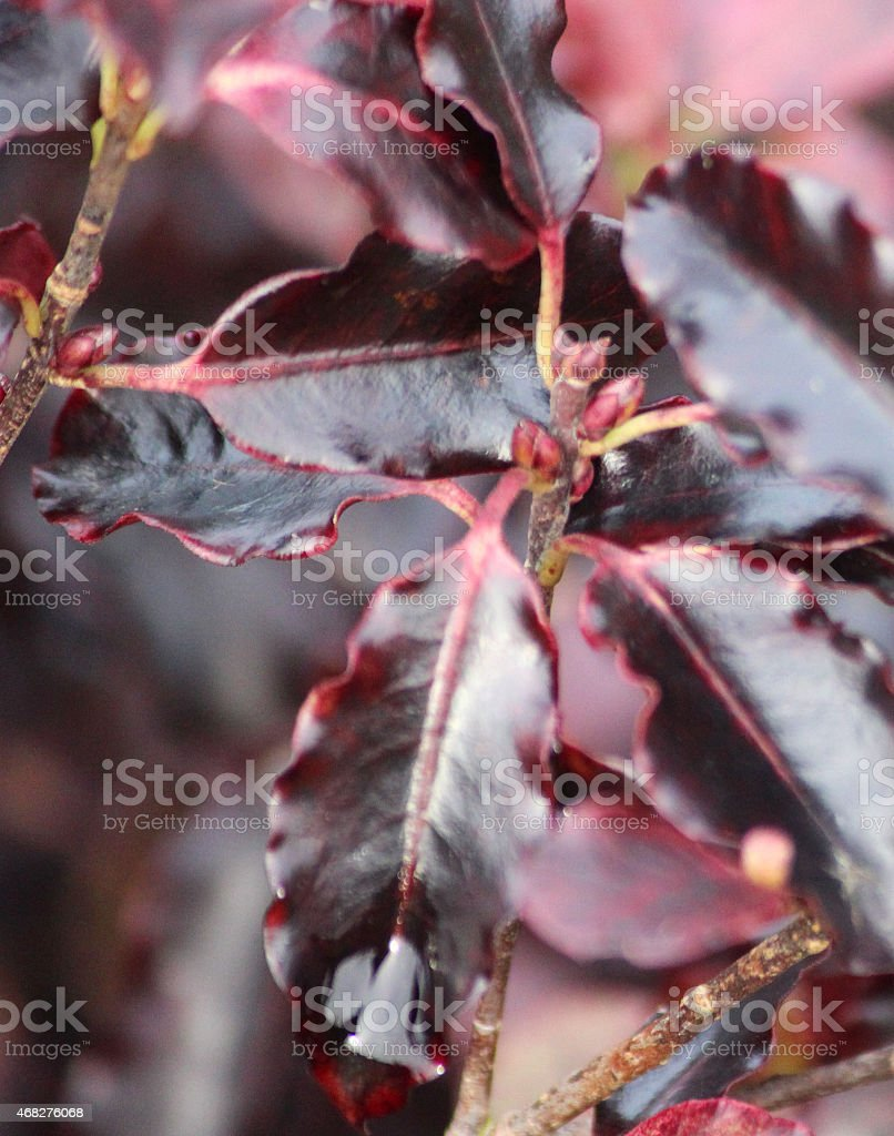 Image of purple pittosporum tenuifolium 'Tom Thumb' leaves, evergreen shrub stock photo