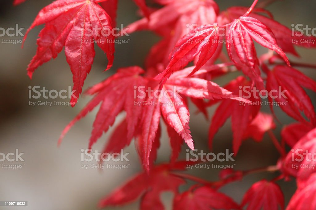 Stock photo of purple red Japanese maples bonsai tree with spring...