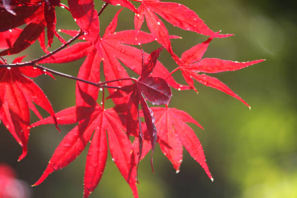 Image of purple red Japanese maples leaves backlit glowing in morning sunshine after rain, water drops of palmate leaf dripping, acer palmatum atropurpureum bloodgood maple bonsai tree leaves in sun growing in oriental Japanese garden wallpaper background stock photo