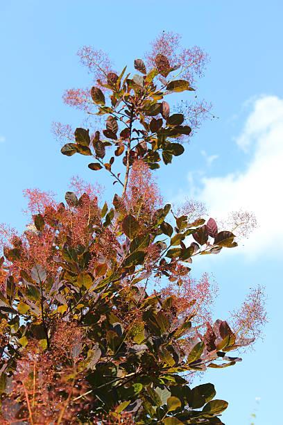 """bild von purple smoke bush blumen, cotinus coggygria """"royal purple' - perückenstrauch stock-fotos und bilder"""