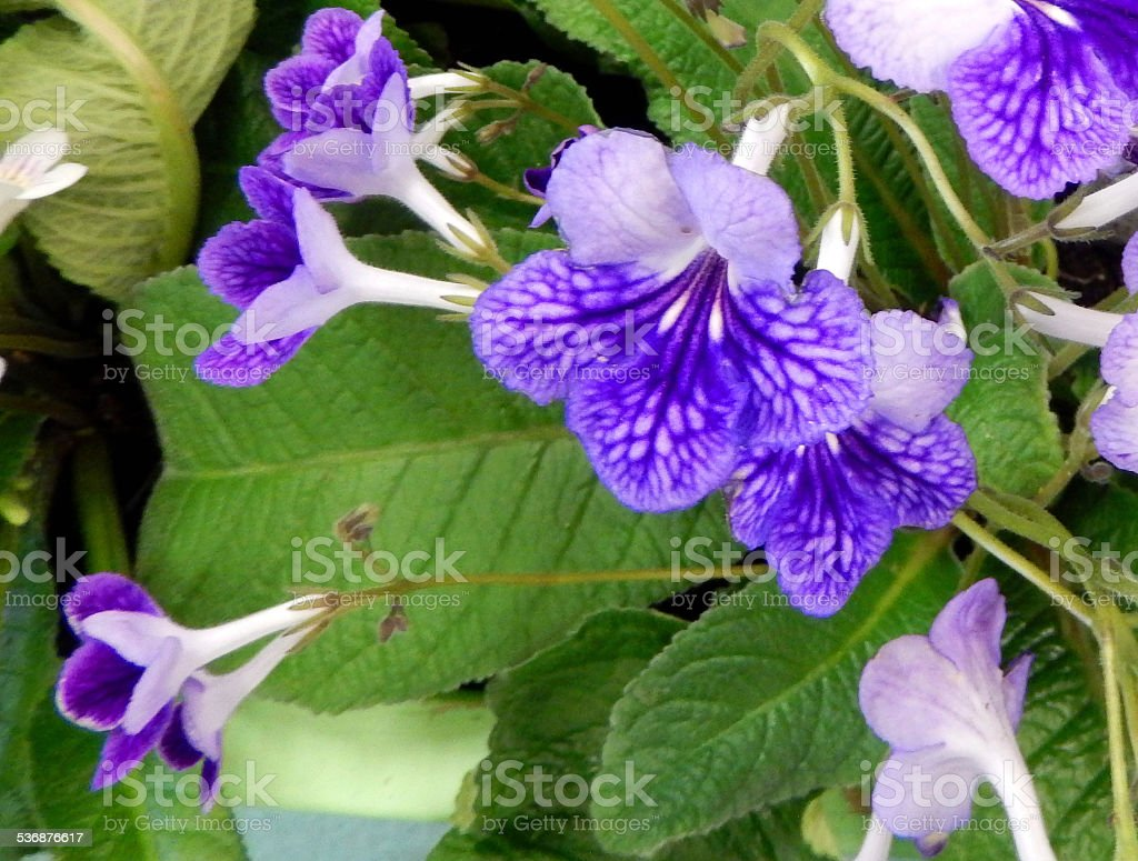 Image Of Purple Streptocarpus Flowers Pot Plants Flowering ... on best dried flowers, succulent plant with orange flowers, house plant trees, house plants with fruit, house plants with leaves, house plants with pink, house plant identification, house plants for cats, house plants that bloom, dollhouse miniature plants and flowers, house plant purple underside, house plants with lily, house plants with red stems, variegated flowers, garden plants and flowers, potato vine plant flowers, house plants with color, house plants with butterflies, house plant purple heart,
