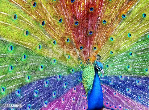 istock Image of rainbow peacock feathers, male peafowl bird displaying fan of feathers with rainbow colours, peacocking and showing off with colourful plumage in the sunshine, purple, blue, green, yellow, orange and red rainbow colours effect 1155338843