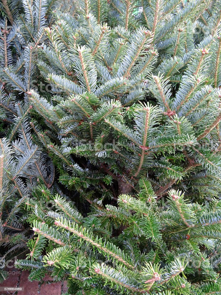 Image of real pine / spruce / Noble-fir Christmas trees for sale stock photo