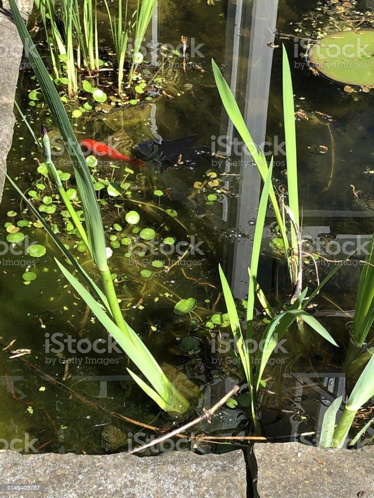 Image Of Rectangular Garden Pond In Sun With Goldfish Water ...