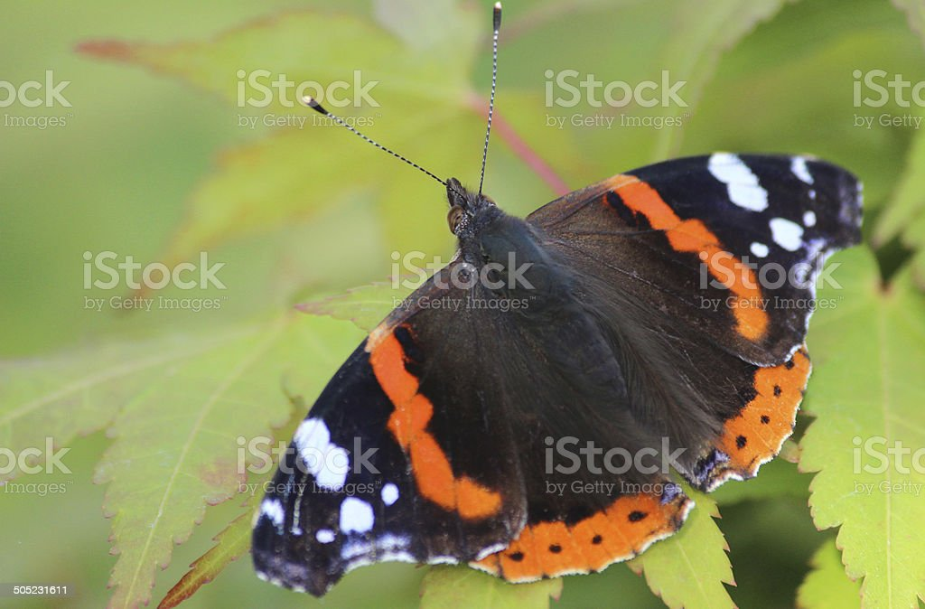 Image of Red Admiral butterfly (Vanessa atalanta), green maple leaves stock photo