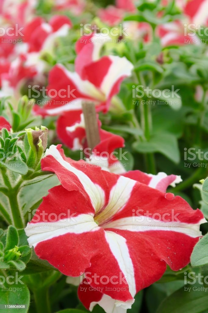 Image Of Red And White Striped Petunias Flowers Growing In Garden
