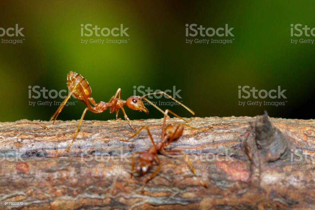 Image of red ant on tree. Insect. Animal