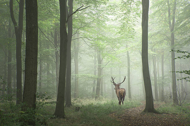 Image of red deer stag in foggy Autumn colorful forest - foto stock