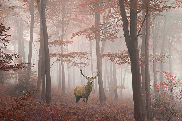 Image of red deer stag in foggy Autumn colorful forest stock photo