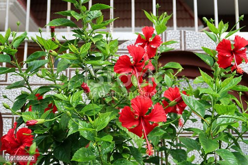 Stock photo showing red frilly / frilled hibiscus flowers on shrub / small tree with blurred garden leaves and gardening background / house fence railing. hibiscus flower, petals and long stamen with pollen for honey bees / flowering hollyhock.