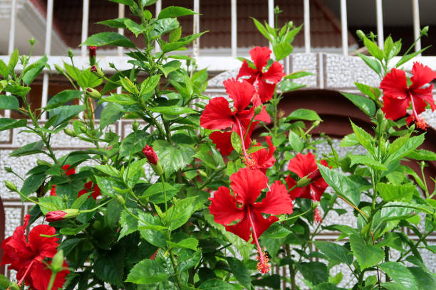 Image of red hibiscus flower, petals and long stamen with pollen for honey bees / flowering hollyhock tree shrub with red blooms growing in summer landscaped garden, close-up hibiscus photo blurred leaves and gardening background / house fence railings stock photo