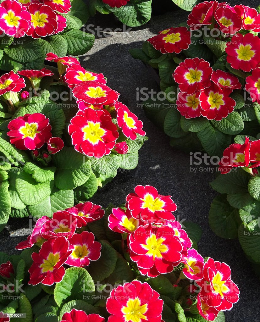 Image of red primrose flowers annual winter spring bedding plants image of red primrose flowers annual winter spring bedding plants royalty free stock izmirmasajfo