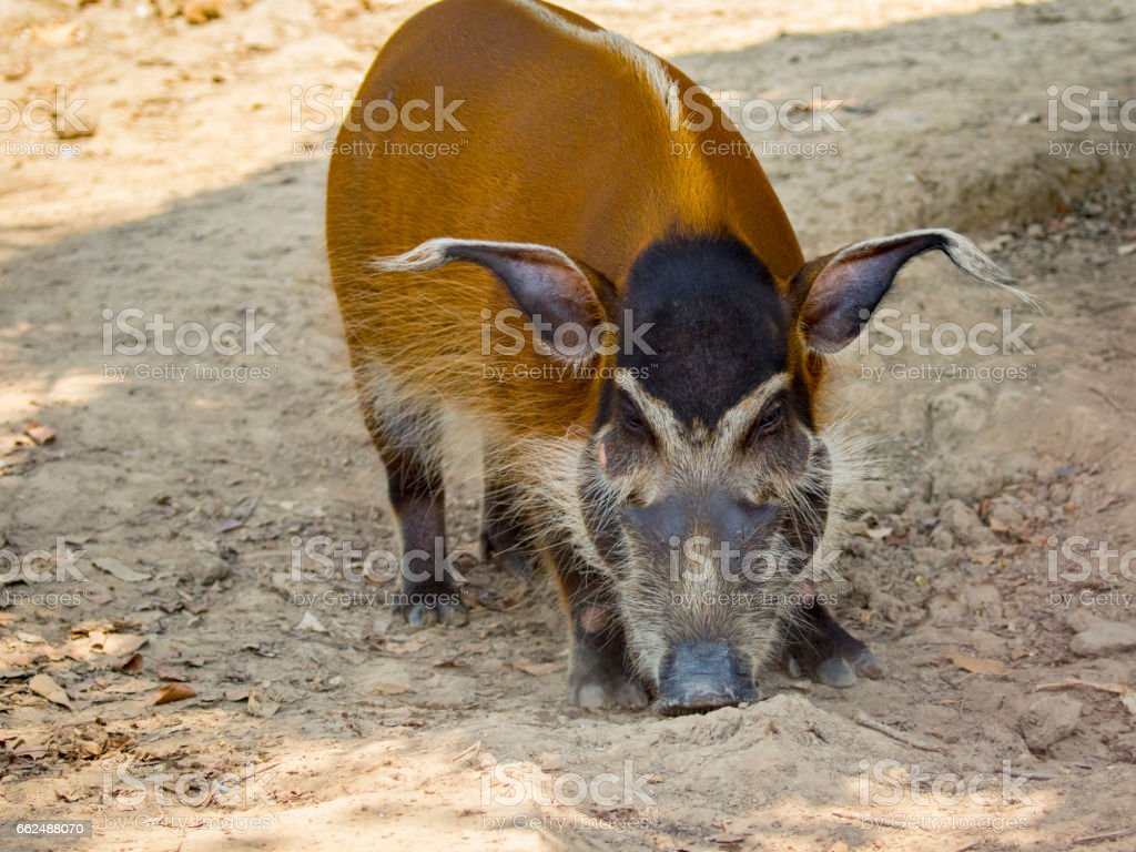Image of red river hog on the ground. Wild Animals. stock photo