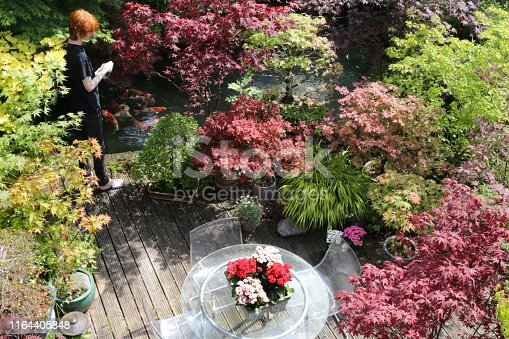 Stock photo of ornamental Japanese-style garden. Featuring crystal clear koi pond of kohaku red and white carp fish being fed by redhead, teenage boy, grooved timber decking patio.