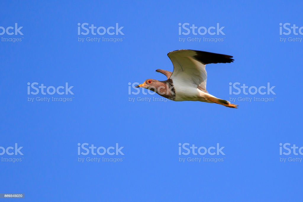 Image of red-wattled lapwing bird(Vanellus indicus) flying in the sky. Animal. Bird. stock photo