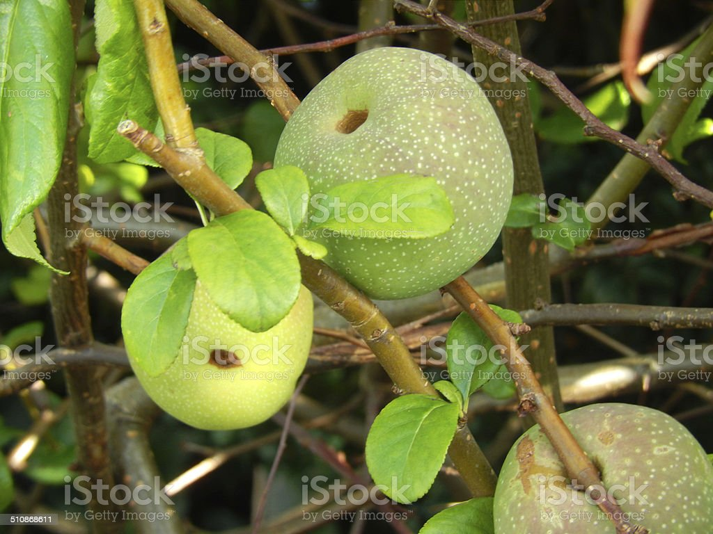 how to eat japanese quince