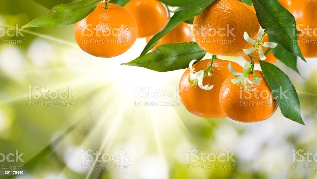 imagen de primer plano mandarina dulce maduro - foto de stock