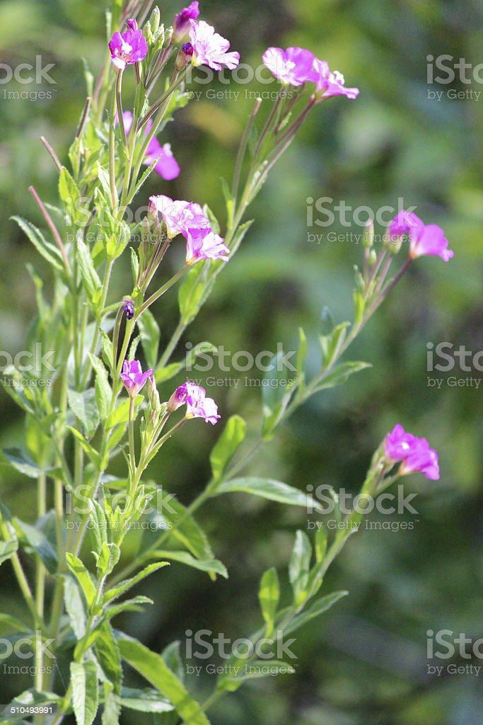 Image of rosebay willow herb pink wild flowers garden weed stock image of rosebay willow herb pink wild flowers garden weed royalty free stock mightylinksfo