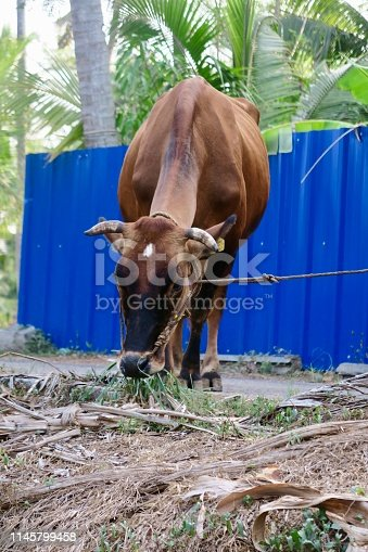 Sacred cow tethered by a rope on a canal bank of Kerala Backwaters, India.