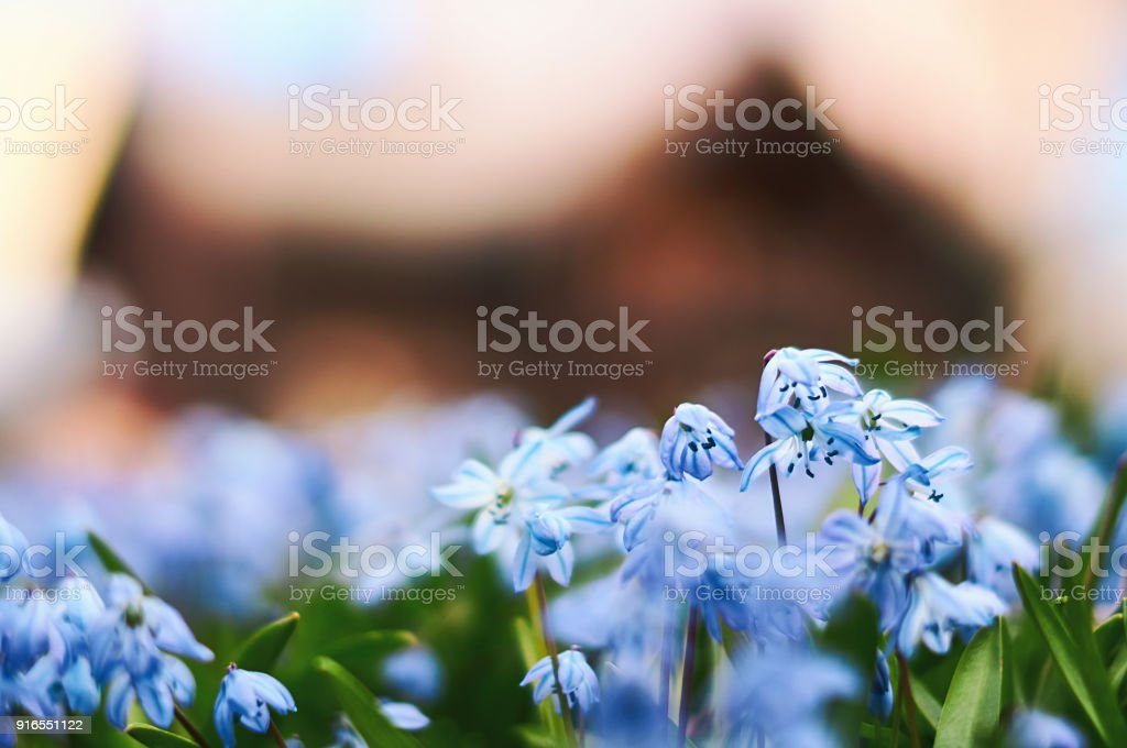 Image of Scandinavian spring with beautiful blue scilla siberica flowers with defocused wooden house on background stock photo