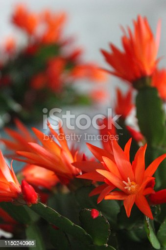 Stock photo of scarlet red orange Easter cactus flowers. These flowering cacti plant  are hybrid specimen houseplant with brightly coloured flowers in sunshine, growing on the windowsill in a sunny position, hatiora gaertneri ornamental Christmas / Whitsun cactus plant