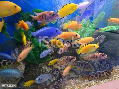 Photo showing a tropical fish tank / aquarium of a mixed variety of Malawi cichlids. Malawis are a very active species and so are popular with fish keepers, however, they are also known to be aggressive and territorial.