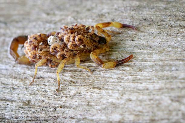 bild des skorpions mit baby auf dem rücken. insekt. tier - skorpion stock-fotos und bilder