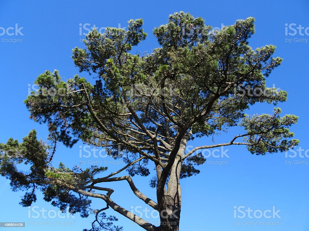 Image of Scots pine tree branches and needles (Pinus Sylvestris) stock photo